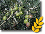 olivicola
