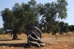 ulivi monum