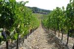 viticoltura
