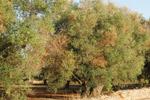 dissecc olivi