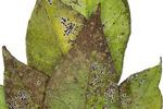 a spiniferus