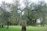 oliveti dauni